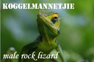 Koggelmannetjie - teasing little man - a male rock lizard