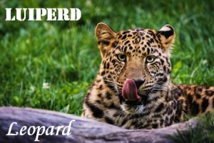 Luiperd - Lazy horse - Leopard. A translation with spots