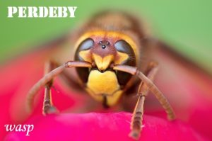 perdeby - horse fly - wasp. A literal translation that could sting.