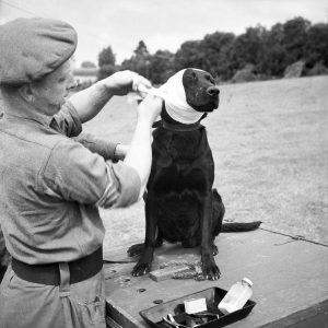 A British war dog receiving first aid. WW1