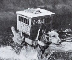 Amazing Roles Dogs Played during WW1, part 2: Scouts, Sentries, Ambulance and Messenger Dogs. Carrier pigeons in cages on back Airedales terrier WW1