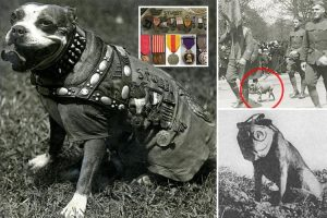 Most decorated and highly-ranked service dog in military history, Sergeant Stubby, a bull terrier.