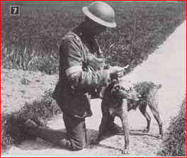 Amazing Roles Dogs Played during WW1, part 2: Scouts, Sentries, Ambulance and Messenger Dogs - a messanger dog.