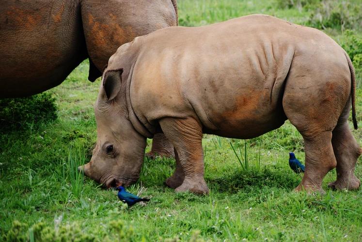Baby rhino, Kariega Game Reserve, Grahamstown, South Africa, image by @zoeeee_, free on Unsplash.jpg