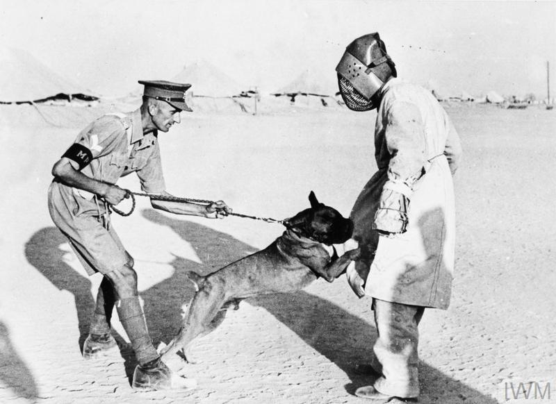 THE BRITISH ARMY IN NORTH AFRICA 1942 - training a boxer dog. Source Imperial War Museum