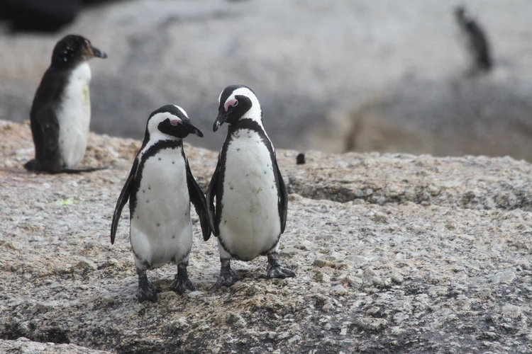 penguin love, Boulders Beach, Cape Town, South Africa, image by @pamivey free on Unsplsh.jpg