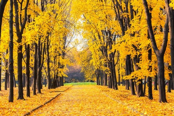 Autumn. A gamboge canopy. @PatFurstenberg