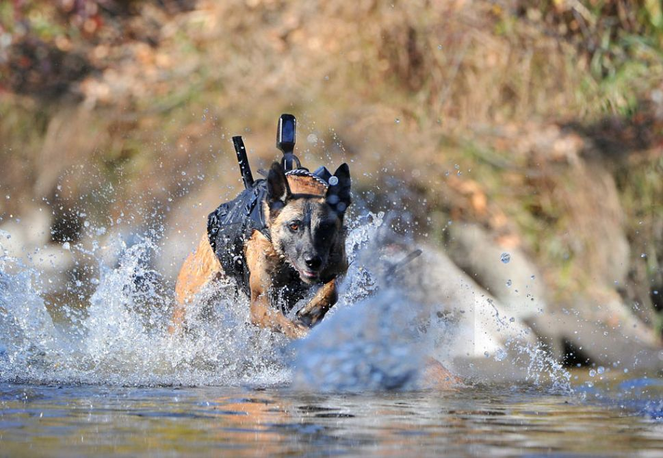 MWD dogs equipped with Canine Tactical Assault Vests