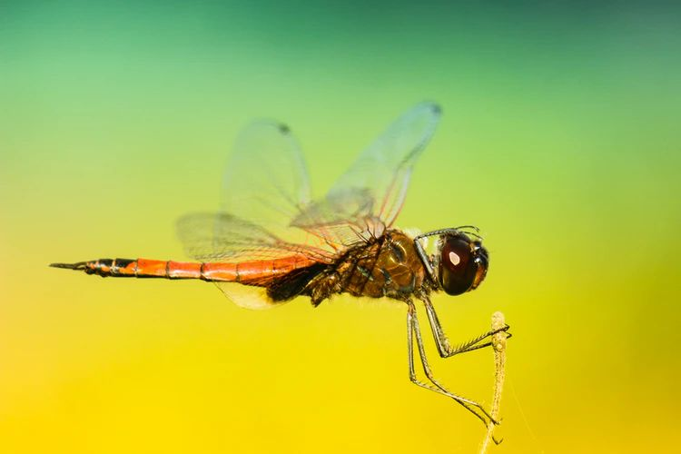 amber dragonfly