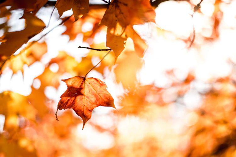 cornelian leaves butterscotch