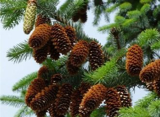 pine trees hide secrets