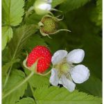 Romanian folklore myths legends, raspberry flower bring good luck