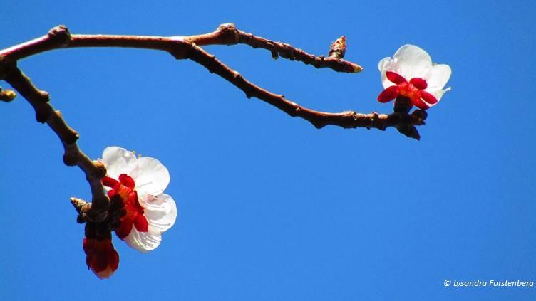 printemps primăvară lente spring, apricot blossoms