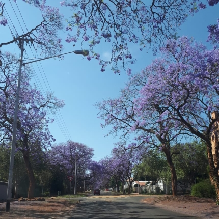 The Fragrant Jacaranda Trees of Pretoria, Hill Street, Hatfield