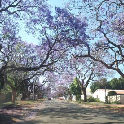 history of The Fragrant Jacaranda Trees of Pretoria