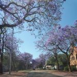scented Jacaranda trees, indigenous to South Africa, their history