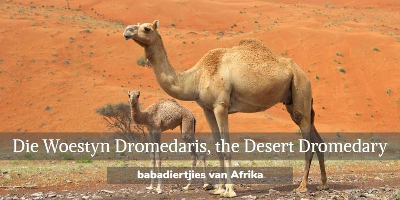 woestyn dromedaris, desert dromedary