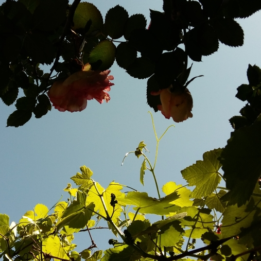 rose bush, grapes in spring, two of a kind