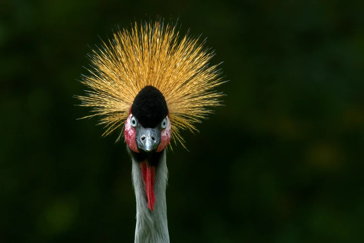 Die Mahem and the Legend of the African Crowned Crane, babadiertjies van Afrika