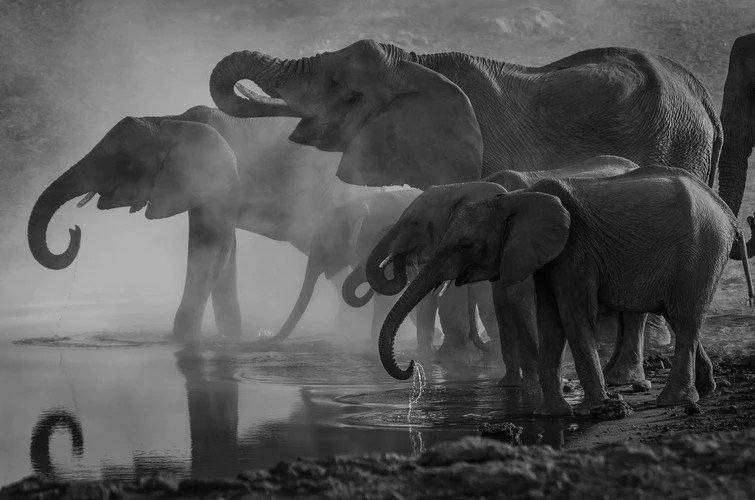 A herd of elephants splashing by a water hole. Mist in black and white..Die Reusagtige Olifant, The Giant Elephant and the Rain