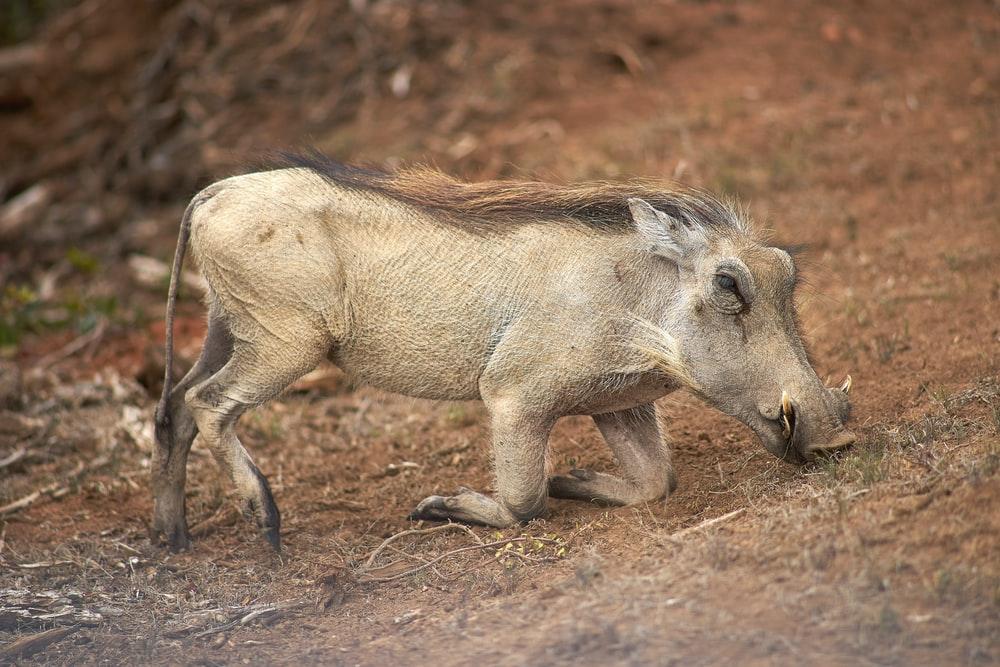 a white warthog