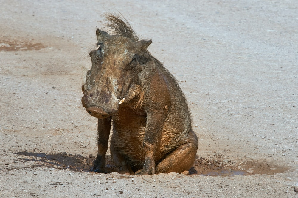 a warthog asking a question and a story