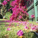 Bougainvillea flowers rain