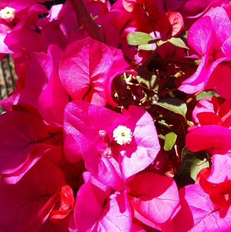 Kinda Pink and Sunny Bougainvillea pestle