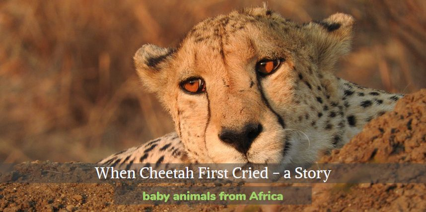 When Cheetah First Cried is a retelling of an African folk story that explains why cheetahs have two vertical lines on their faces.