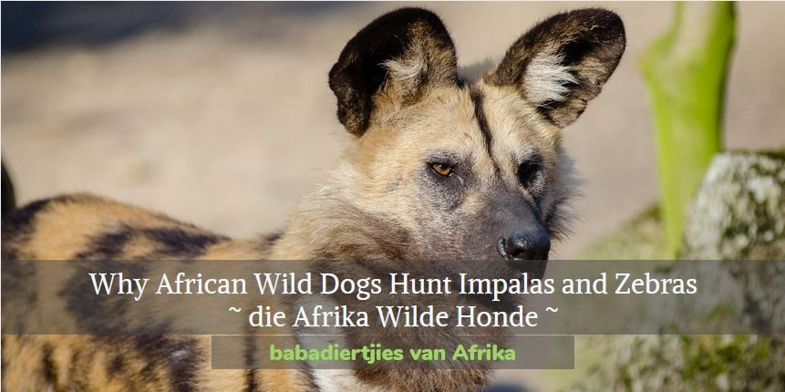 Why Wild Dogs Hunt Impalas and Zebras, African folktale